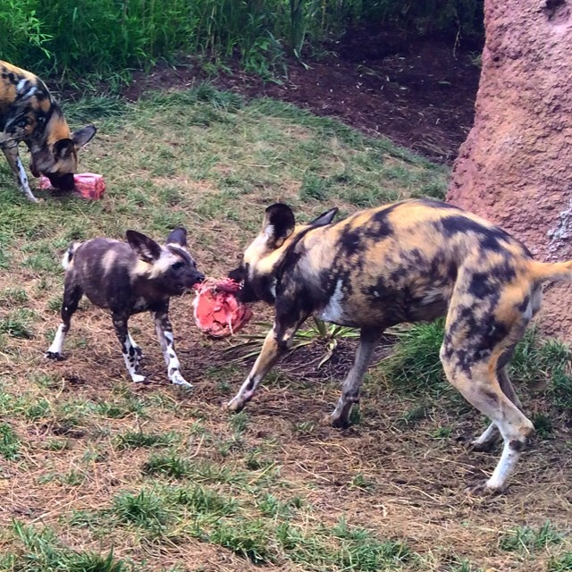 Ham hock tug-o-war with the African Painted Dogs