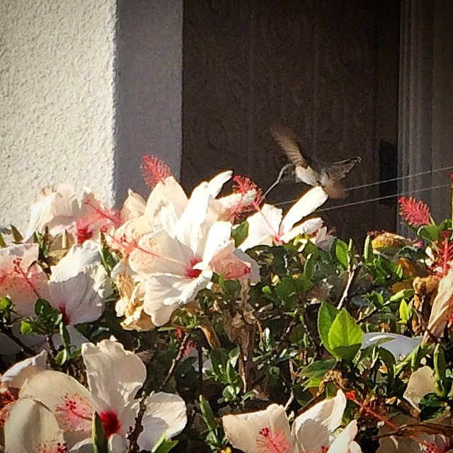 Little #hummingbird in #LaJolla ️