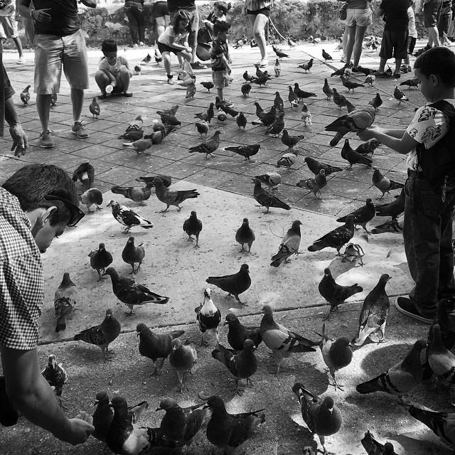 Muchas aves  #oldsanjuan #puertorico #pigeons